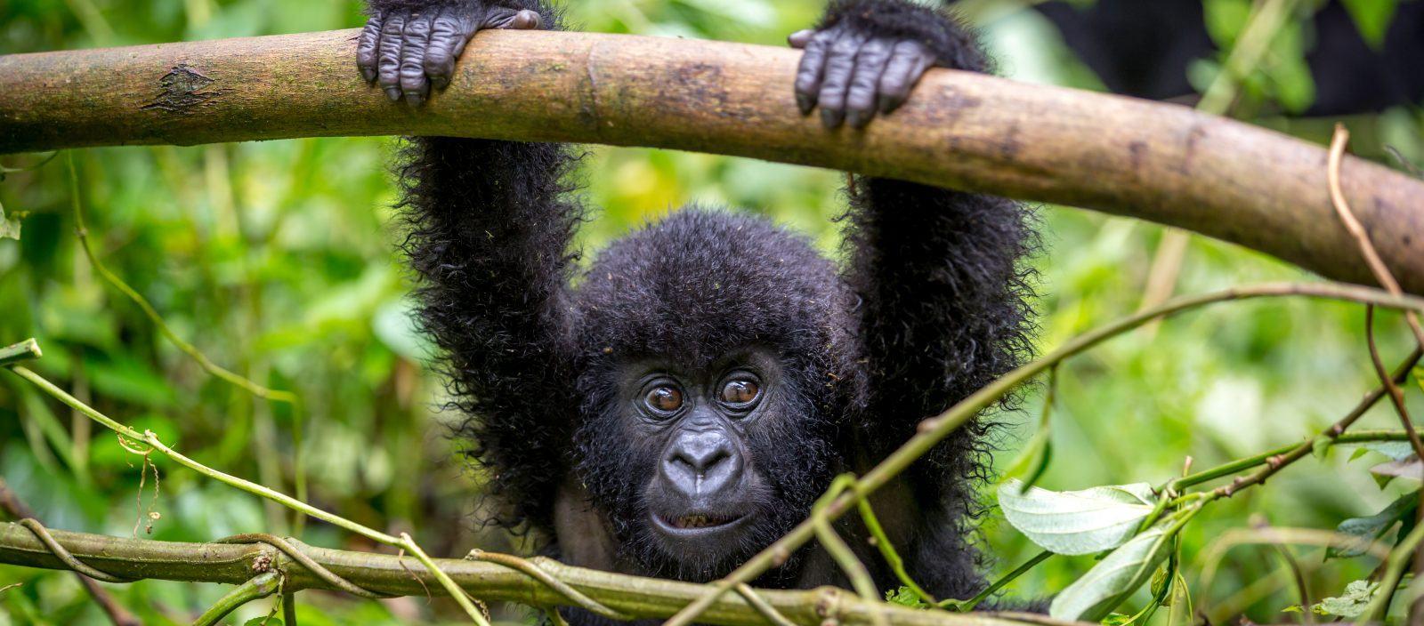 The Great Apes of Uganda and Rwanda